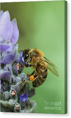 Honey Bee Canvas Print by Joy Watson