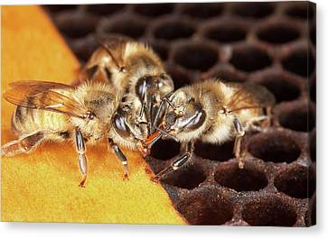 Honey Bee Mouth-to-mouth Feeding Canvas Print by Stephen Ausmus/us Department Of Agriculture
