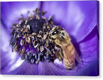 Honeybee And Anemone  Canvas Print by Priya Ghose