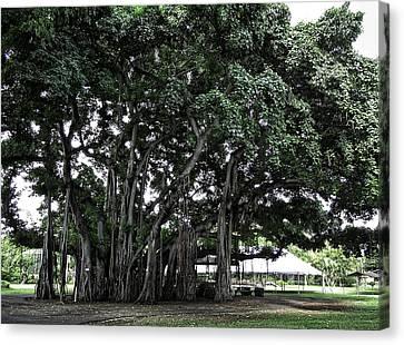 Honolulu Banyan Tree Canvas Print by Daniel Hagerman