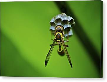 Hornets Nest Canvas Print by Arj Munoz
