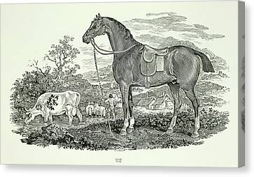 Horse And Cow Canvas Print by British Library