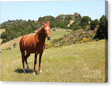 Horse Hill Mill Valley California 5d22679 Canvas Print by Wingsdomain Art and Photography