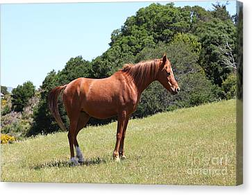 Horse Hill Mill Valley California 5d22683 Canvas Print by Wingsdomain Art and Photography