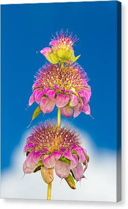 Horsemint Flower Tiers Against Clouds And Sky Canvas Print by Steven Schwartzman