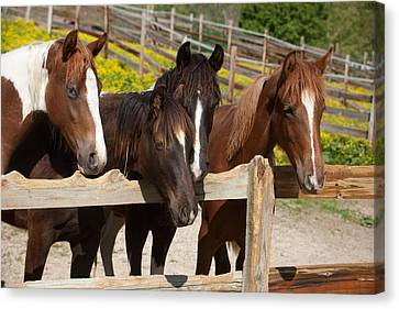 Horses Behind A Fence Canvas Print by Scott Sanders