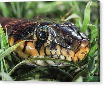 Horseshoe Whip Snake  Hemorrhois Canvas Print by Ben Welsh