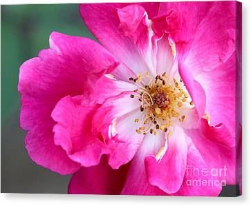 Hot Pink Rose Canvas Print by Sabrina L Ryan