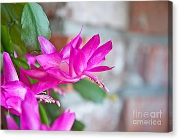 Hot Pinnk Christmas Cactus Flower Canvas Print by Valerie Garner