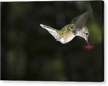 Hovering Beauty Canvas Print by Ron White