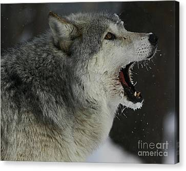 Howling Gray Wolf  Canvas Print by Inspired Nature Photography Fine Art Photography