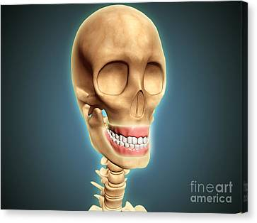 Human Skeleton Showing Teeth And Gums Canvas Print by Stocktrek Images