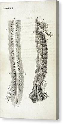 Human Spine And Nerves Canvas Print by British Library