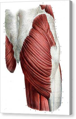 Human Thigh Muscles Canvas Print by Collection Abecasis