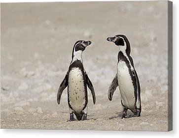 Humboldt Penguins Punta San Juan Peru Canvas Print by Cyril Ruoso