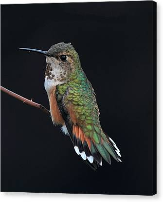 hUMMER Canvas Print by Ray Morris
