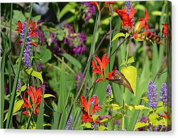 Hummingbird And Crocosmia Lucifer Canvas Print by Michelle Calkins