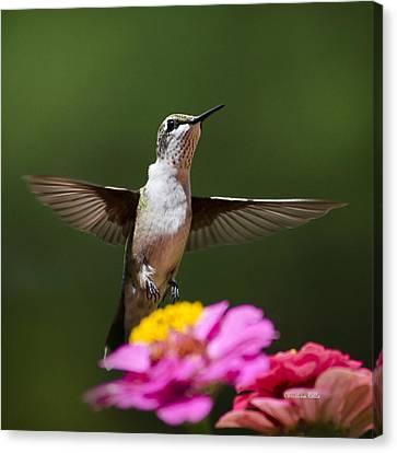 Hummingbird Canvas Print by Christina Rollo