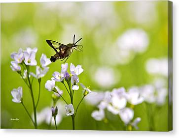 Hummingbird Clearwing Moth Flying Away Canvas Print by Christina Rollo