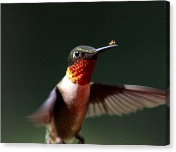 Hummingbird - Hitching A Ride - Ruby-throated Hummingbird Canvas Print by Travis Truelove