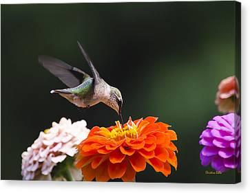 Hummingbird In Flight With Orange Zinnia Flower Canvas Print by Christina Rollo