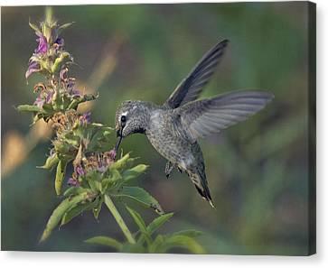 Hummingbird In The Morning Light Canvas Print by Saija  Lehtonen