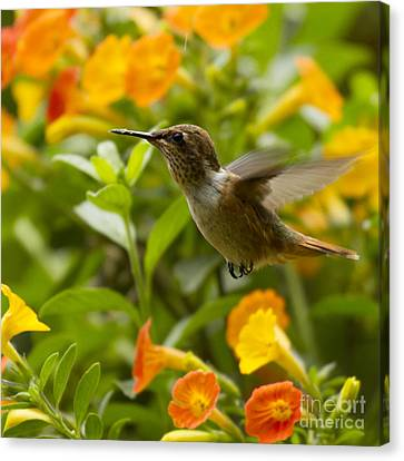 Hummingbird Looking For Food Canvas Print by Heiko Koehrer-Wagner