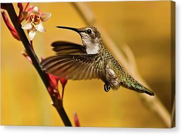 Hummingbird Canvas Print by Robert Bales
