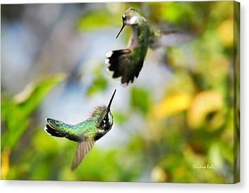 Hummingbirds Ensuing Battle Canvas Print by Christina Rollo