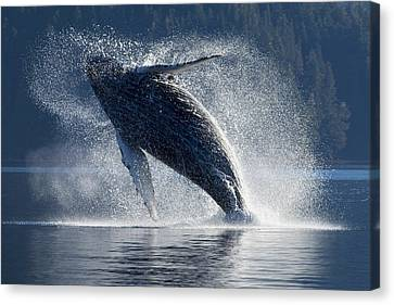 Humpback Whale Breaching In The Waters Canvas Print by John Hyde