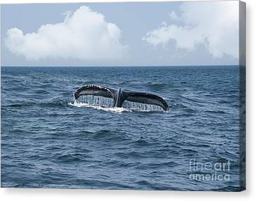 Humpback Whale Fin Canvas Print by Juli Scalzi