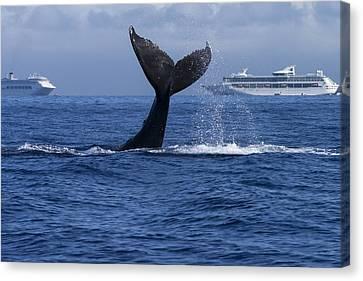 Humpback Whale Tail Lobbing In Maui Canvas Print by Flip Nicklin