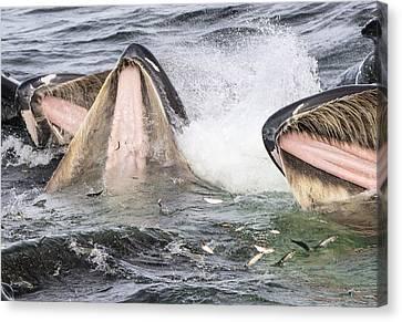 Humpback Whales Gulp Feeding Alaska Canvas Print by Flip  Nicklin