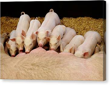 Hungry Little Piglets Canvas Print by Luke Moore