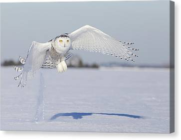 Hunting Snowy Owl Canvas Print by Mircea Costina Photography