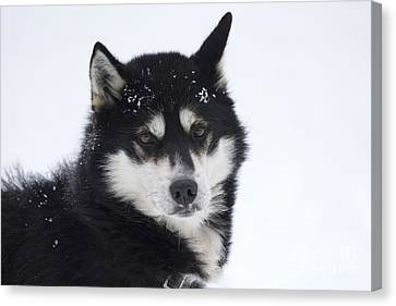 Husky Dog Breading Centre Canvas Print by Lilach Weiss