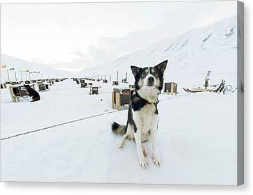 Husky Dogs And Kennels Canvas Print by Louise Murray