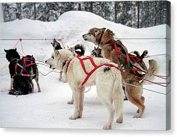 Husky Dogs Pull A Sledge Canvas Print by Photostock-israel