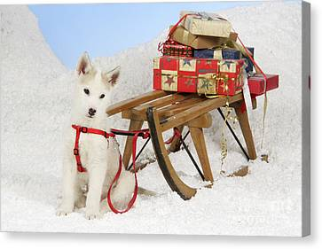 Husky Puppy At Christmas Canvas Print by John Daniels