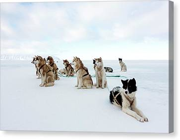 Husky Sled Dogs Canvas Print by Louise Murray