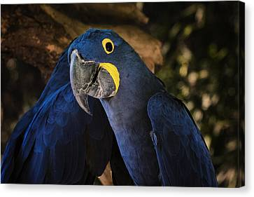 Hyacinth Macaw Canvas Print by Joan Carroll