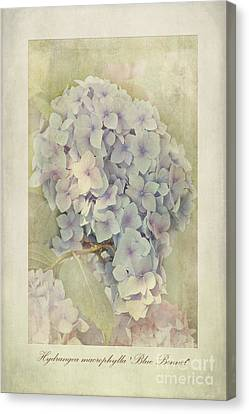 Hydrangea Macrophylla Blue Bonnet Canvas Print by John Edwards