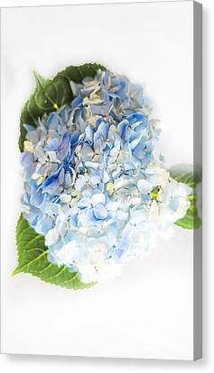 Hydrangea On White Canvas Print by Shelby  Young