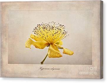Hypericum Calycinum Canvas Print by John Edwards