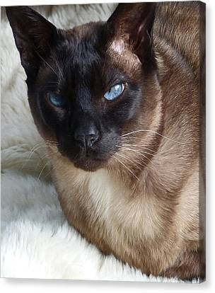 I Am A Tonkinese Canvas Print by Margaret Saheed