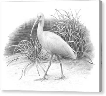 Ibis Canvas Print by Diane Cardaci