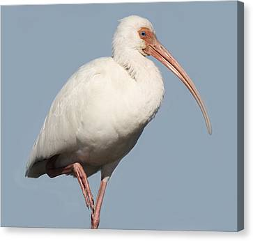 Ibis Up Close Canvas Print by Paulette Thomas