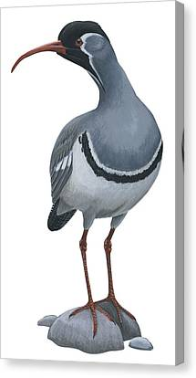 Ibisbill Canvas Print by Anonymous