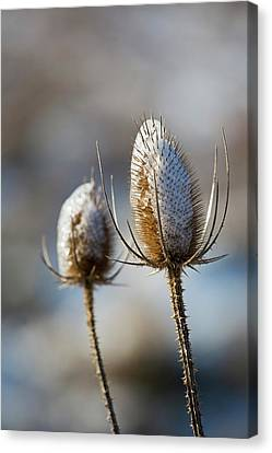 Ice-coated Teasel Canvas Print by Jim West