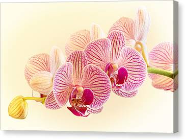 Ice Cube Orchid Canvas Print by Barbara Smith